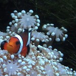 CLOWN AND CORAL